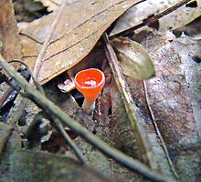 Scarlet Elf Cup Mushroom - Sarcoscypha dudleyi or Sarcoscypha austriaca by MotherNature