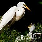 Egret Chick Gobbles Three Fish by Joe Jennelle