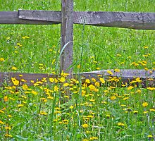 Hawkweed at Split-Rail Fence by MotherNature