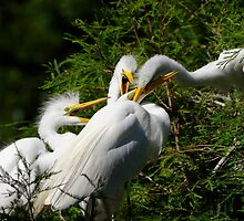 Great White Egret Chicks Feeding Frenzy by Joe Jennelle