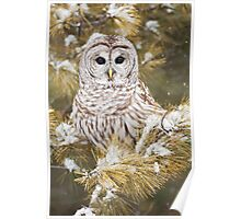 Barred Owl Perched in Snowy Tree Poster