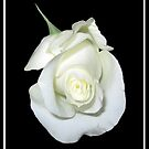 White Rose Bud on black background by Rose Santuci-Sofranko