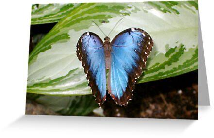 Common Blue Morpho Butterfly by Paula Betz
