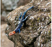 Agama, Lake Nakuru, Kenya Photographic Print