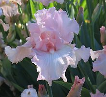 Delicate Pink Iris by Pat Yager