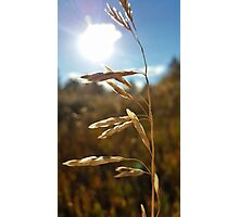 Amber Waves of Grain Photographic Print