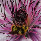 Bee On The Clematis by Jonice