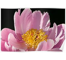 Natural Peony Poster