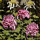 Chrysanthemums, Japanese National Flower, Japan. by johnrf