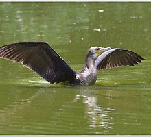 Great Cormorant by Beatminister