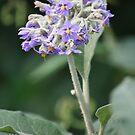 Wild Tobacco Bush In Flower by aussiebushstick