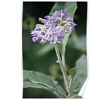 Wild Tobacco Bush In Flower Poster