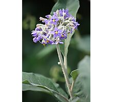Wild Tobacco Bush In Flower Photographic Print