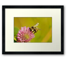 Clover and bumble Framed Print