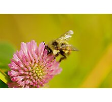 Clover and bumble Photographic Print