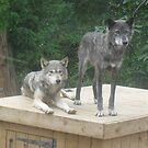 Wolves at colchester zoo by KatieJMiller