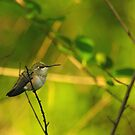 Female rufous by Al Williscroft