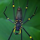 Golden Silk Orb-Weaver by Anne-Marie Bokslag
