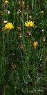 Hawkweed Straight and Tall by RC deWinter