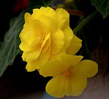Yellow Begonia by Brian104