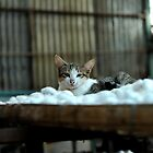 Cat resting on a tray of silkworm cocoons. Da Lat (Dalat), Vietnam by Sheldon Levis