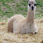 Baby Lama by Audrey Clarke