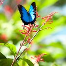 Beautiful Blue - Ulysses butterfly by Jenny Dean