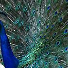 Blue Peacock&#x27;s feathers by Jean-Luc Rollier