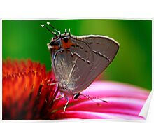 Hairstreak Butterfly Poster
