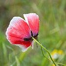 Little Poppy by vbk70