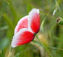Little Poppy II by vbk70