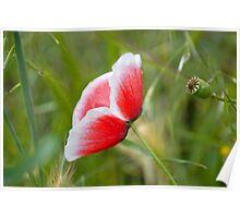 Little Poppy II Poster