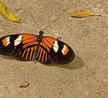 Doris longwing butterfly by Thad Zajdowicz