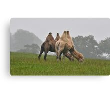 Bactrian Camels  Canvas Print