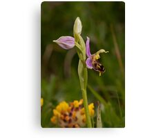 first bee orchid of the season Canvas Print