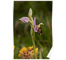 first bee orchid of the season Poster