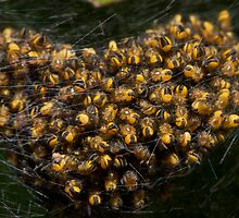 spiderlings by Jon Lees