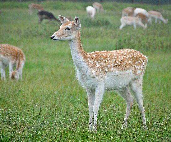 Sika Deer by Dhruba Tamuli
