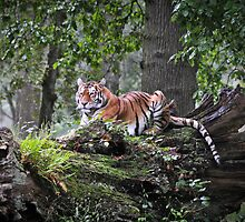 Royal Bengal Tiger by Dhruba Tamuli