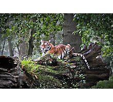 Royal Bengal Tiger Photographic Print