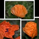A Poppies Folds........ the many stages.. by Larry Llewellyn