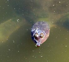 Soft Shelled Turtle  by CavyGirl