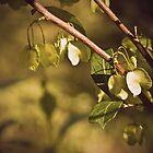 Hopbush by Laura Sykes