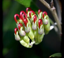 Holly-Leaved Grevillea by LeeoPhotography