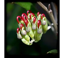 Holly-Leaved Grevillea Photographic Print