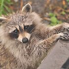 Rocky Raccoon by MarieG
