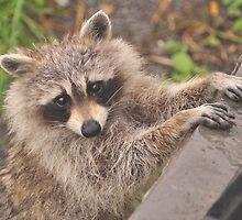 Rocky Raccoon by MarieG