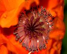 Center of a Poppy........... in case you never noticed..! by Larry Llewellyn