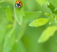 Ladybug on a green leaf by Tad Denson