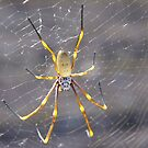 Golden Orb Spider by Liz Worth